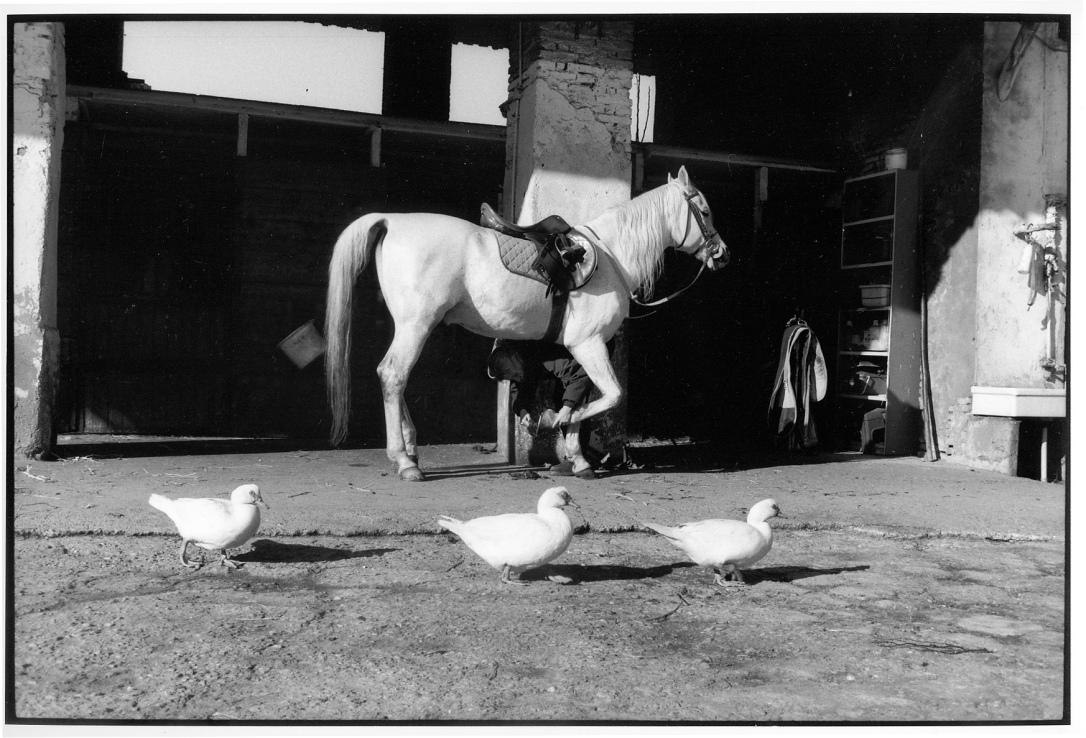 cavallo e papere
